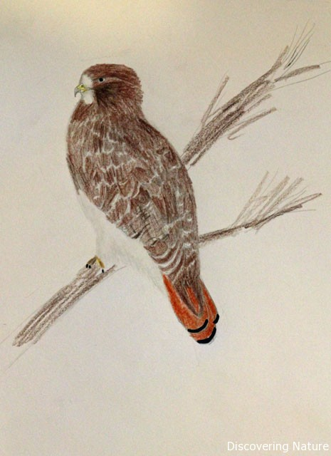 redtail drawing