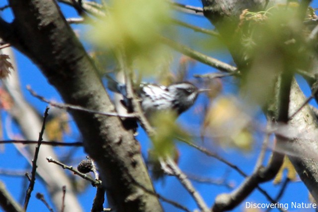black and white warbler2