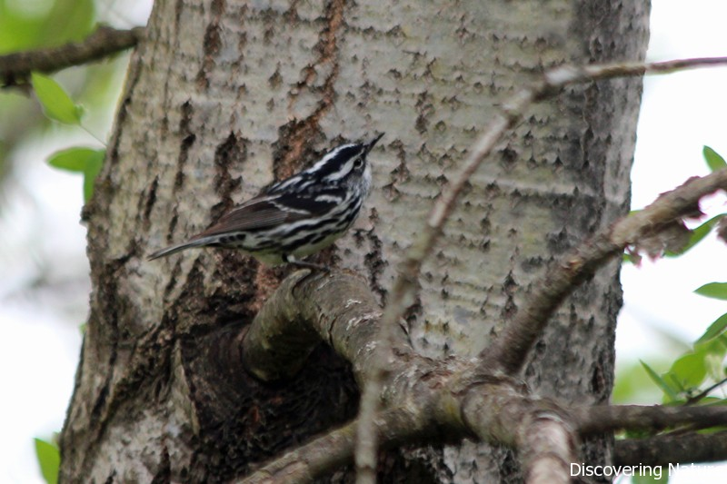 black and white warbler3