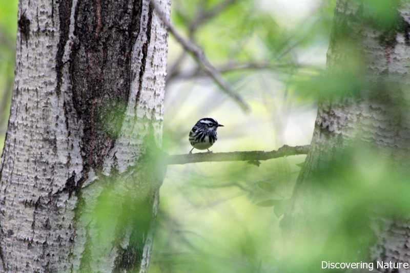 black and white warbler4