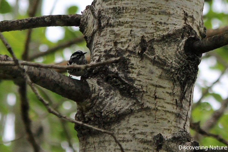 black and white warbler6