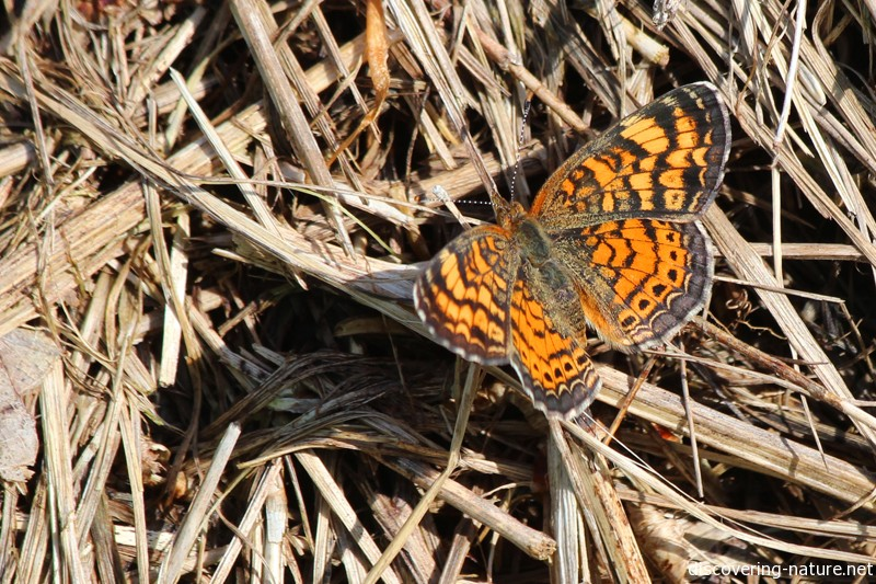 Pearl crescent butterfly