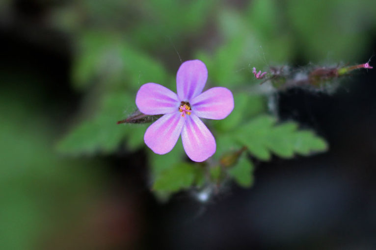 Wild geranium at the entrance to the trail
